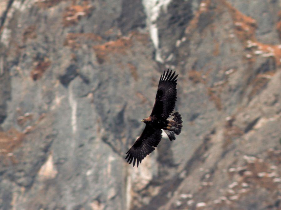 Nationalpark Steinadler (c) HJ Fünfstück - piclease_