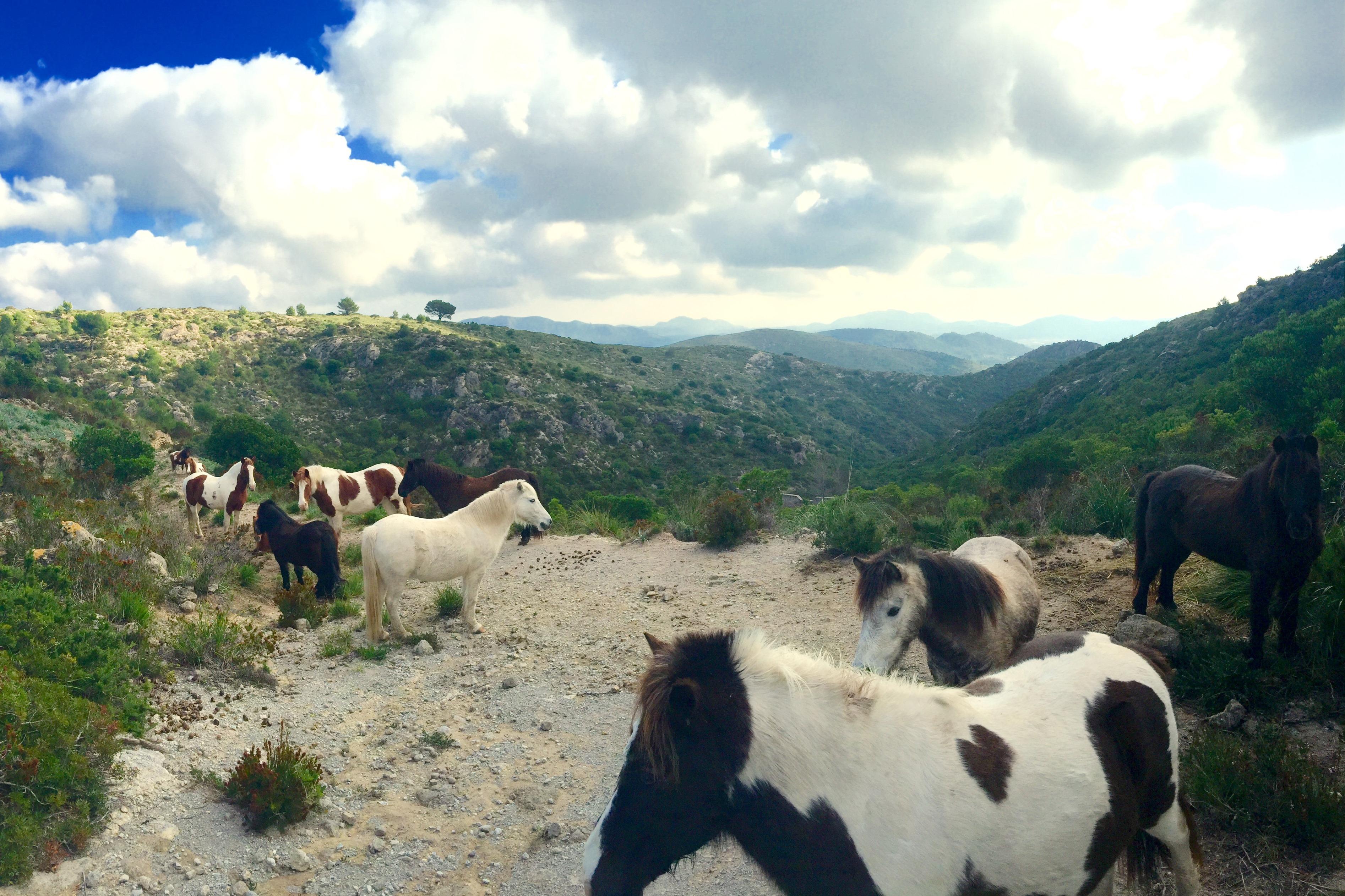 Ponys auf Mallorca (c) fincallorca