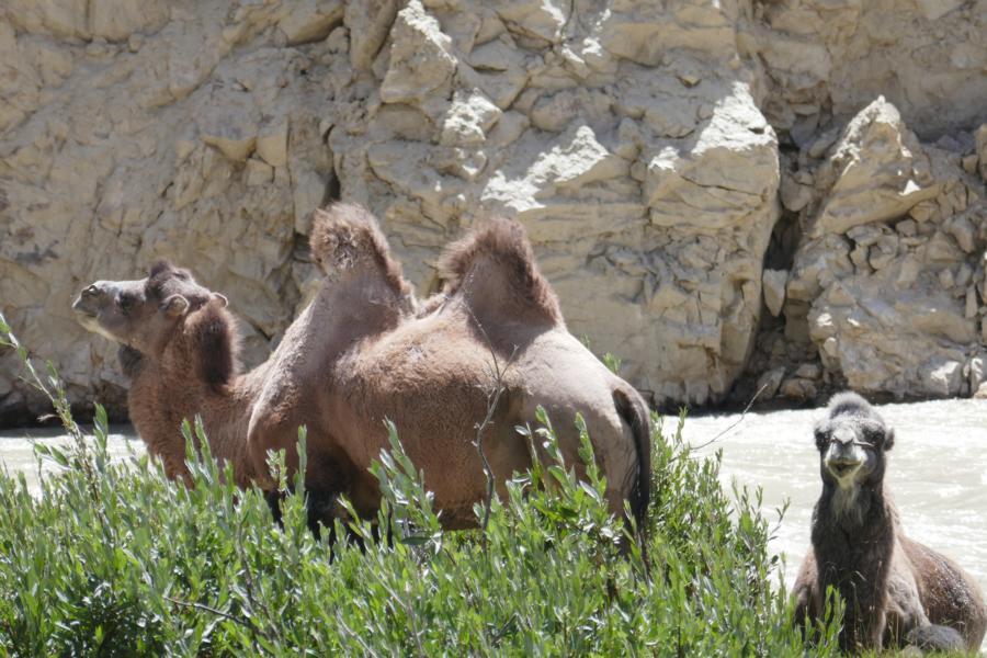 Reisetagebuch Elena und Mateo - Kamele im Wakhan Valley