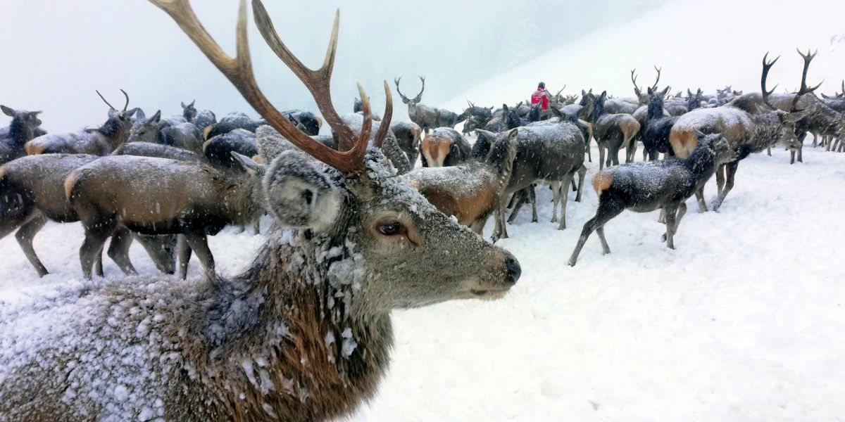 Rotwildfütterung in Bad Gastein mit Hirschflüsterer Thomas Tscherne