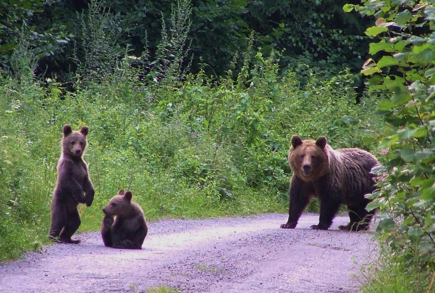 Karpaten-Bärenfamilie-Mala-Fatra-C-Vlado-Trulík