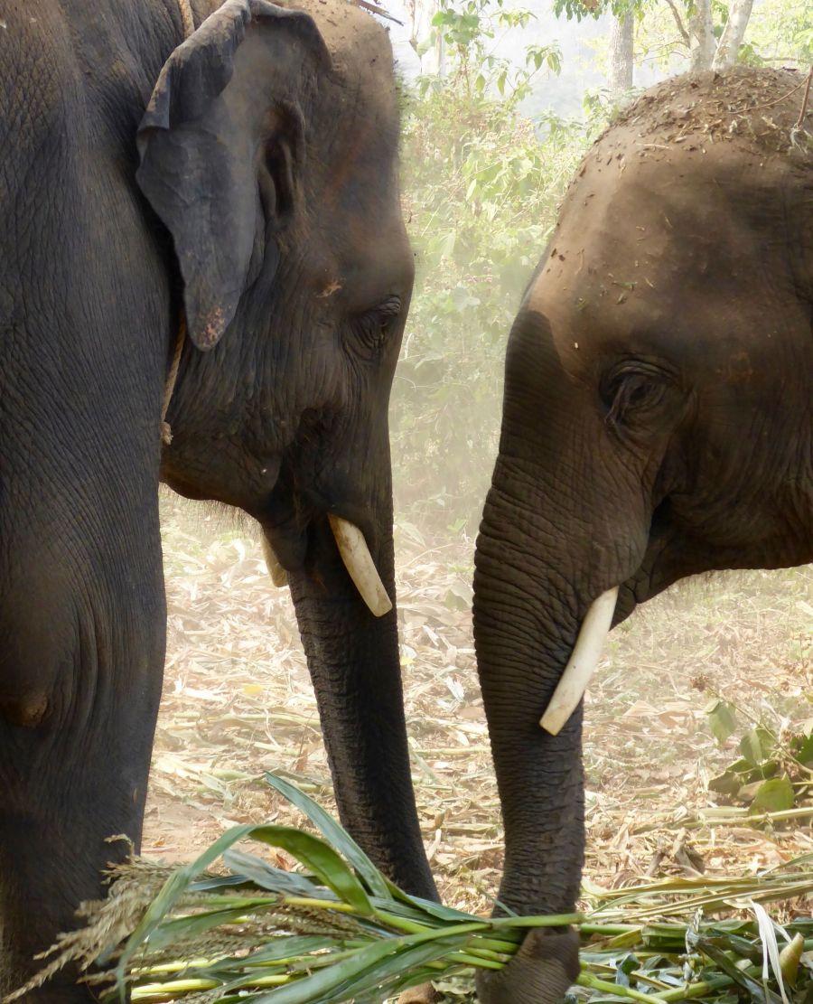 (c) Gillian Rogers Thailand Elefanten Chiang Mai