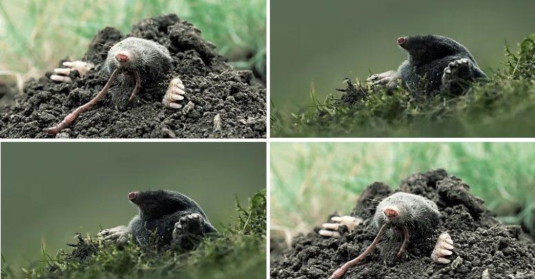 Photo of Stollengräber aus Leidenschaft – Maulwurf ist Tier des Jahres 2020