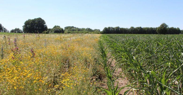 Photo of Besser als Mais – Wildpflanzen trotzen der Trockenheit