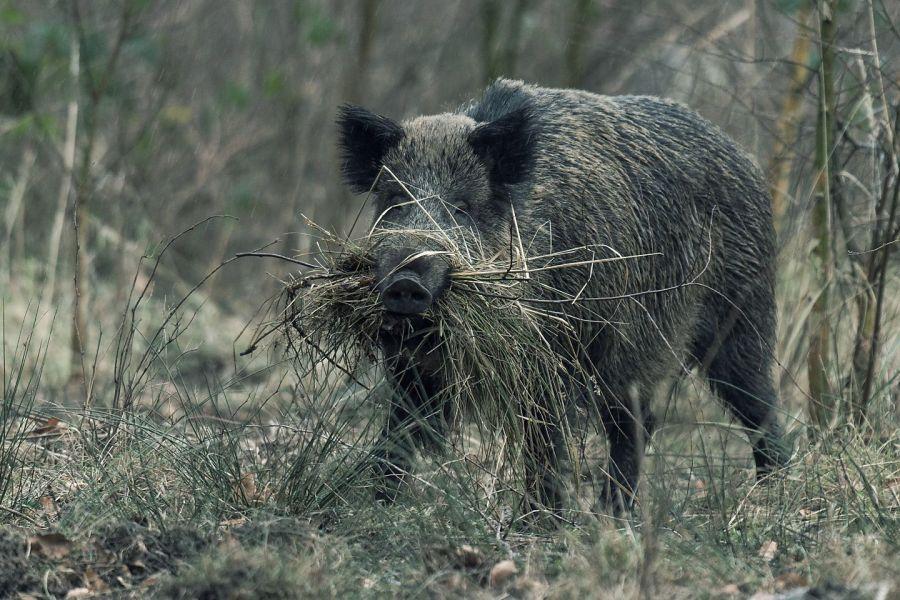 (c)Deutsche Wildtier Stiftung - Wildschwein