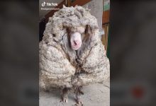 Photo of Merino-Schaf Baarack – Haarschnitt mit 35 Kilo Wolle