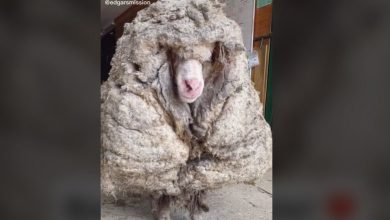 Photo of Merino-Schaf Baarack – Haarschnitt mit 35 Kilo Wolle