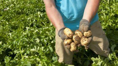 Photo of Bayerische Kartoffeln – Genuss das ganze Jahr