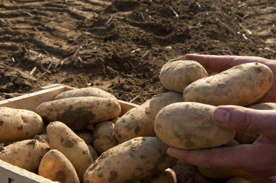 (c)Zollner - Bayerische Kartoffel